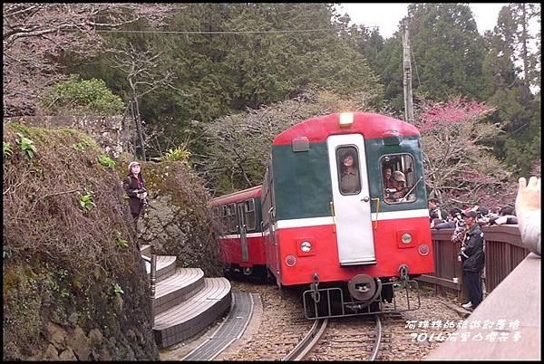 阿里山櫻花季32.JPG