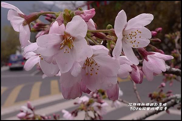 阿里山櫻花季37.JPG