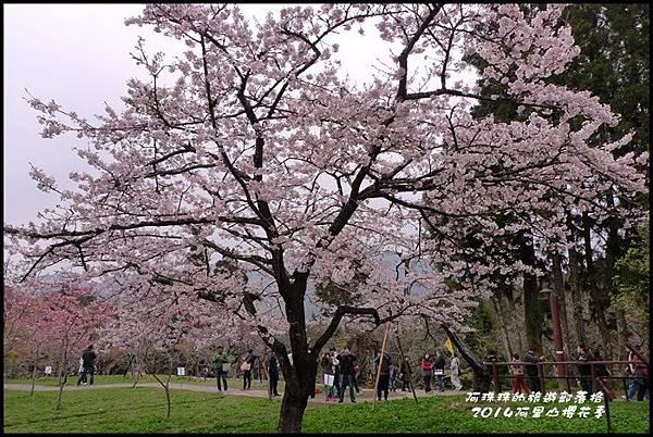 阿里山櫻花季39.JPG
