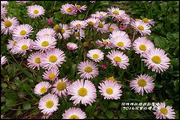 阿里山櫻花季41.JPG