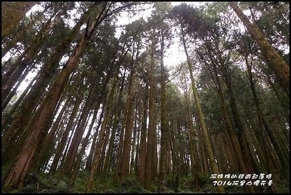 阿里山櫻花季42.JPG