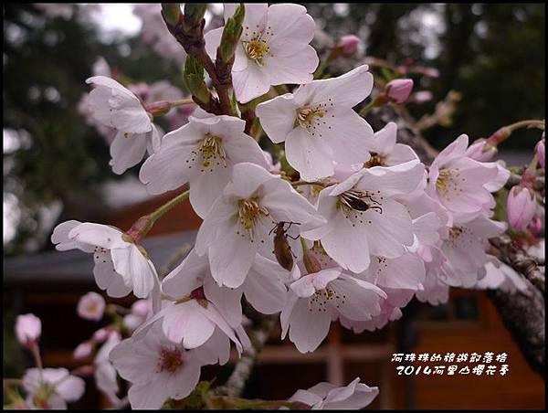 阿里山櫻花季50.JPG