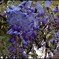 紫藤花開1.jpg