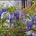 紫藤花開3.jpg