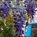 紫藤花開2.jpg