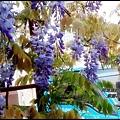 紫藤花開4.jpg
