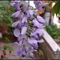 紫藤花開6.JPG