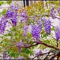 紫藤花開7.JPG