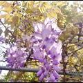 紫藤花開9.JPG