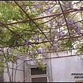 紫藤花開10.JPG