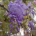 紫藤花開15.JPG
