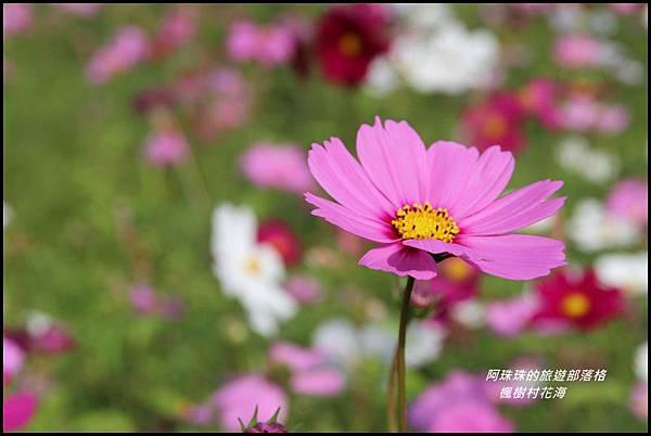楓樹村花海3.JPG
