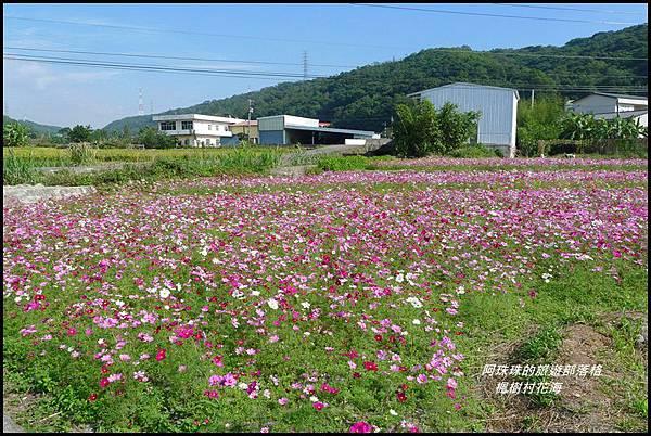 楓樹村花海15.JPG