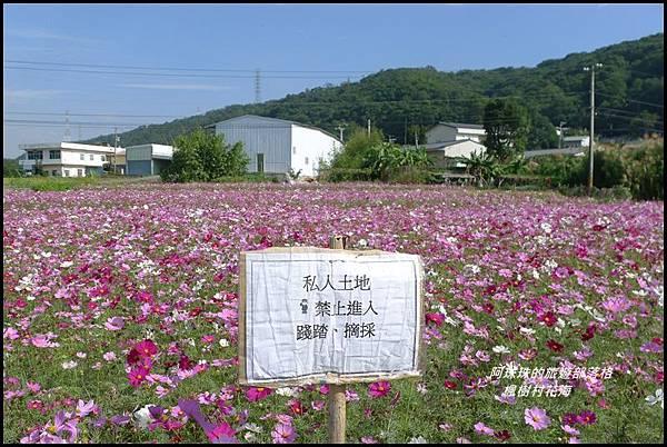楓樹村花海17.JPG