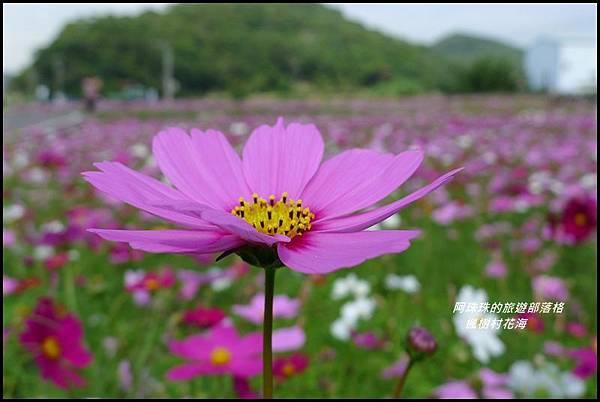 楓樹村花海23.JPG