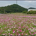 楓樹村花海26.JPG