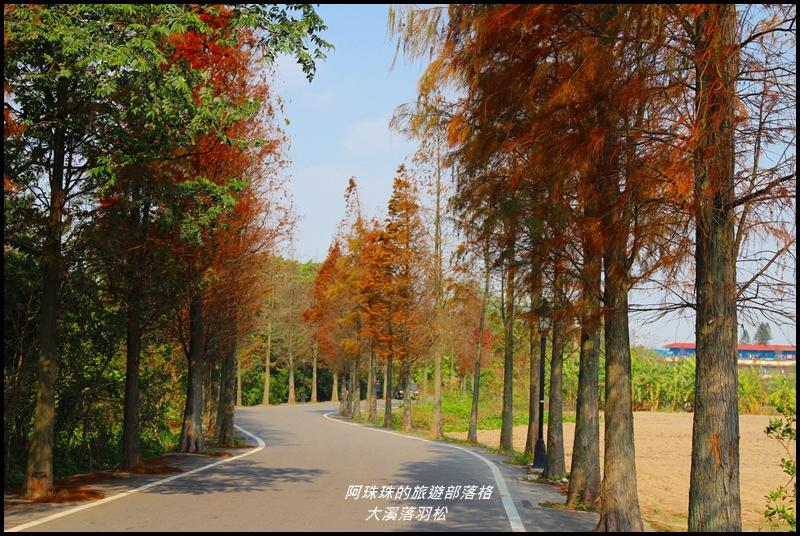 大溪落羽松3.JPG