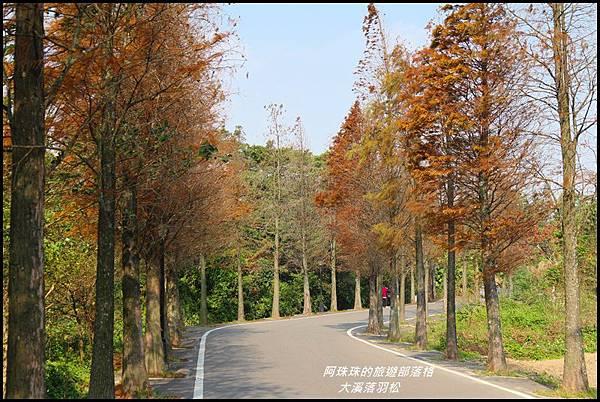 大溪落羽松6.JPG