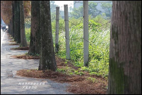 大溪落羽松8.JPG
