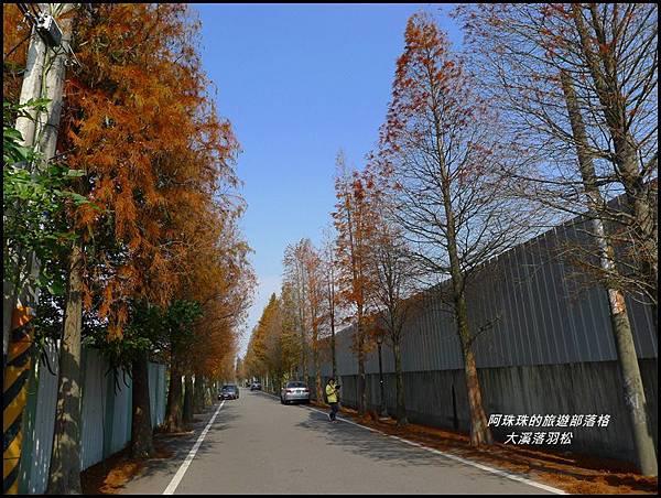 大溪落羽松13.JPG