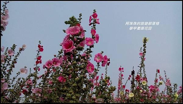 學甲蜀葵花田27.jpg