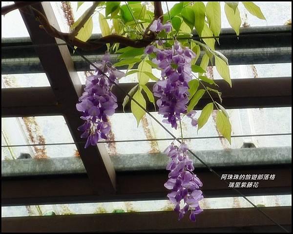 瑞里紫藤花5.JPG