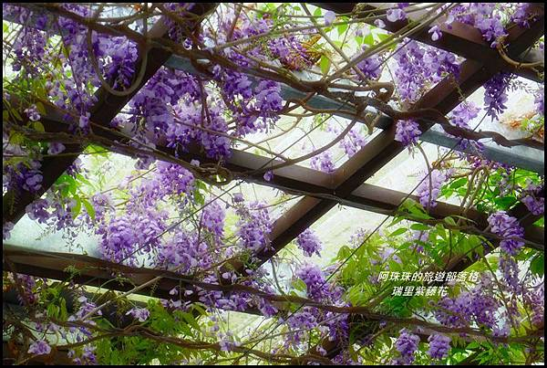 瑞里紫藤花6.JPG