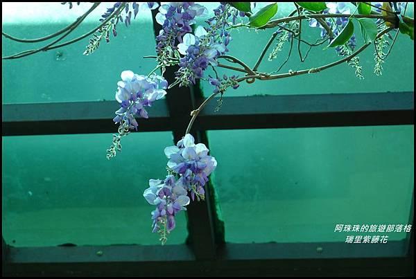 瑞里紫藤花8.JPG