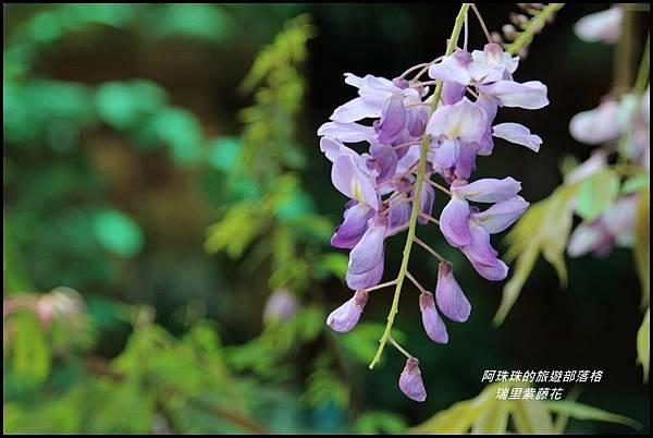 瑞里紫藤花13.JPG