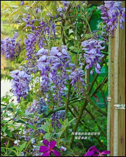 瑞里紫藤花14.JPG