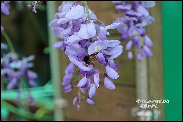 瑞里紫藤花17.JPG