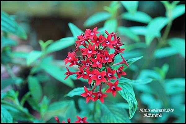 瑞里紫藤花18.JPG