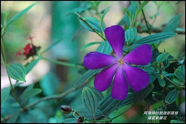 瑞里紫藤花19.JPG