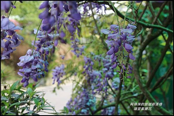 瑞里紫藤花21.JPG
