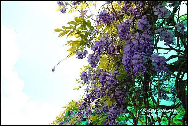 瑞里紫藤花22.JPG