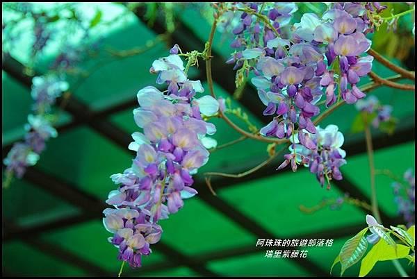 瑞里紫藤花25.JPG