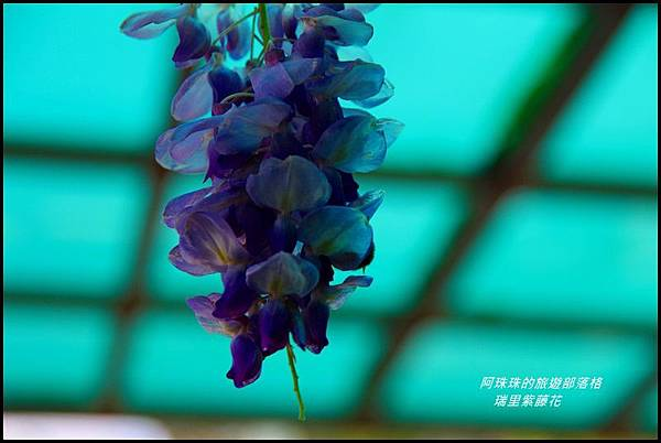 瑞里紫藤花26.JPG