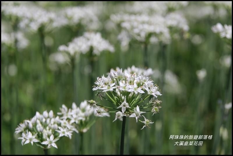 大溪韭菜花田1.JPG