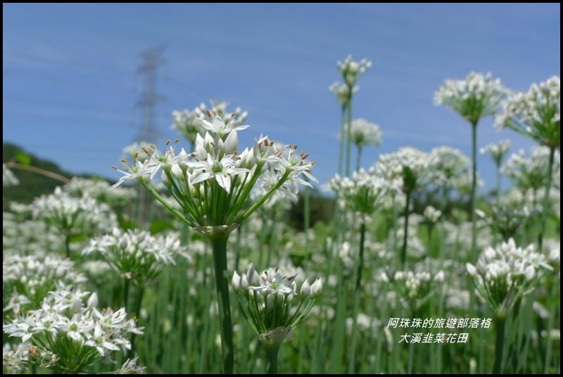 大溪韭菜花田15.JPG