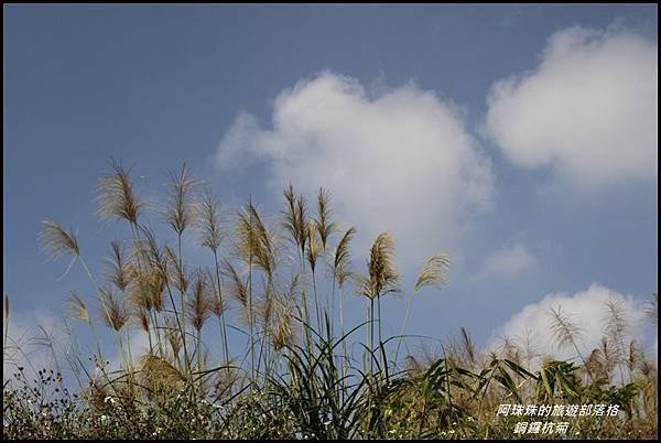 銅鑼杭菊1.JPG