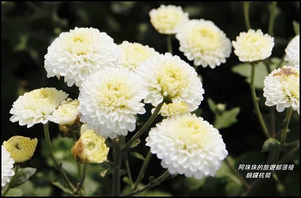 銅鑼杭菊3.JPG