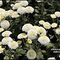 銅鑼杭菊2.JPG
