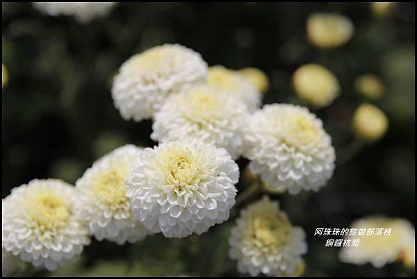銅鑼杭菊4.JPG