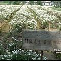 銅鑼杭菊15.JPG