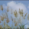 銅鑼杭菊16.JPG