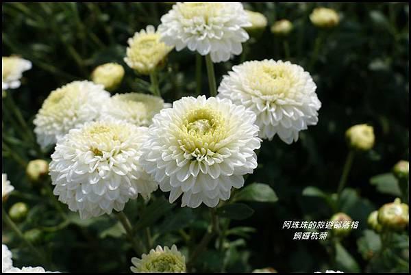 銅鑼杭菊23.JPG