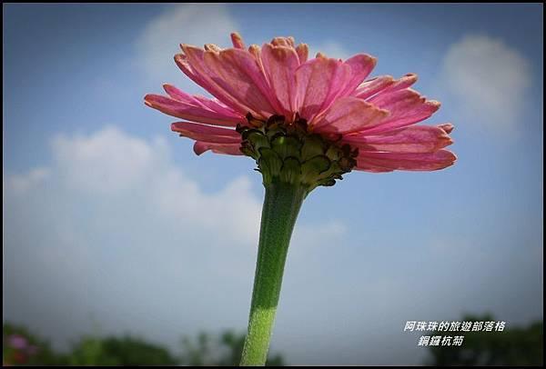 銅鑼杭菊34.JPG