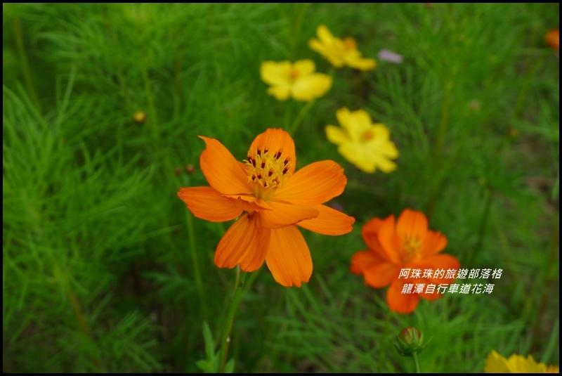 龍潭自行車道花海26.JPG