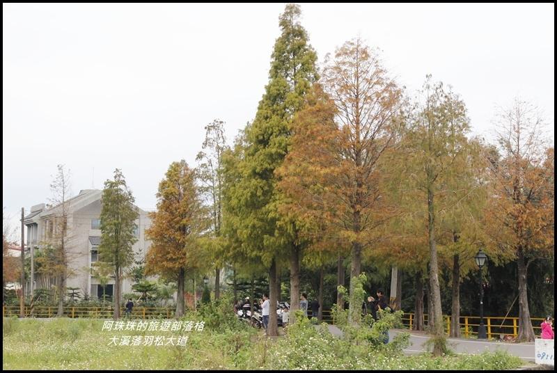 大溪落羽松大道9.JPG