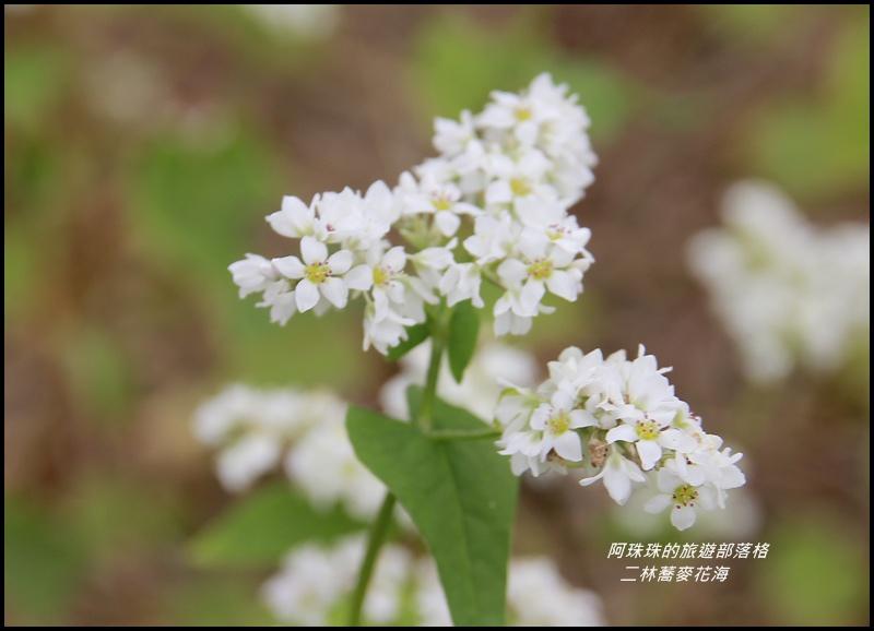 二林蕎麥花海8.JPG